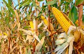 pic of corn stalk  - Ripe corn on the cob in the field ready for harvest - JPG