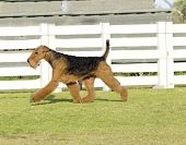image of stubborn  - A profile view of a black and tan Airedale Terrier dog walking on the grass looking happy - JPG