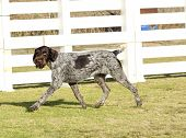 stock photo of scenthound  - A young beautiful liver black and white ticked German Wirehaired Pointer dog walking on the grass - JPG