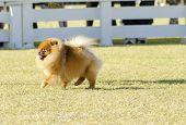 picture of miniature pomeranian spitz puppy  - A small young beautiful fluffy orange pomeranian puppy dog walking on the grass. Pom dogs are considered to be in the toy category and make very good companion dogs.