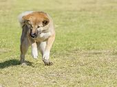 stock photo of akita-inu  - A portrait view of a young beautiful fawn sesame brown Shiba Inu puppy dog standing on its back legs on the grass - JPG