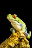 pic of red eye tree frog  - Red - JPG