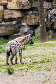 foto of hyenas  - in the wildernis walking an hyena away from me - JPG
