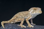 image of gekko  - The helmeted gecko is a small - JPG
