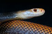 stock photo of dangerous  - The Taipan is considered to be one of the most dangerous snakes in the world - JPG