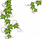 stock photo of ivy vine  - Branch of Green ivy for you - JPG
