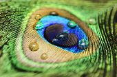 foto of indian peafowl  - Peacock Peafowl Colorful Feather with Water Drops Macro - JPG