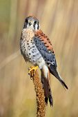 picture of small-hawk  - American kestrel  - JPG