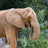 stock photo of elephant ear  - Closeup Elephant animal wildlife on outdoor nature background - JPG