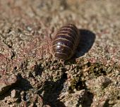 picture of woodlouse  - Macro of Adult Common Pill Woodlouse on path - JPG