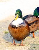 picture of ducks  - Blue Swedish male Duck Swedish Blue Ducks - JPG