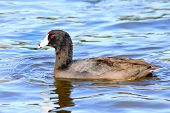 image of water bird  - Coot water bird Fulica Duck swimming in water - JPG