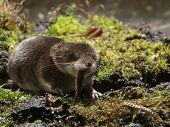 pic of shrew  - Pygmy Shrew devouring prey close - JPG