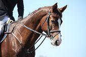 image of brown horse  - Brown sport horse portrait on sky background - JPG