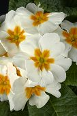 stock photo of primrose  - particular of  some white primroses in a small vase - JPG