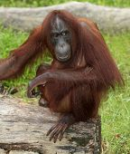 stock photo of orangutan  - A Big orangutan sits on a log