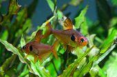 pic of freshwater fish  - Aquarium fish - JPG