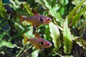 stock photo of freshwater fish  - Aquarium fish - JPG