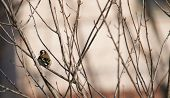 picture of goldfinches  - goldfinch from behind alone on the tree - JPG