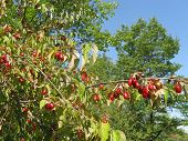 foto of dogwood  - Ripe fruit of dogwood on the branch of a Bush close - JPG