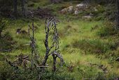 picture of century plant  - Dead plants in a Swedish bog in V - JPG