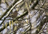 image of mockingbird  - Greenfinch spotted in National Botanic Gardens Dublin Ireland - JPG