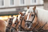 picture of carriage horse  - Horse-drawn carriage in the town square of Salzburg
