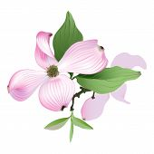 foto of dogwood  - Hand drawn vector illustration of Pink Dogwood flowers on white background - JPG