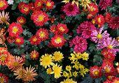 image of chrysanthemum  - close up beautiful petal of chrysanthemums flower in plantation garden - JPG