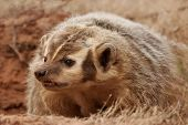 picture of badger  - Portrait of American badger  - JPG