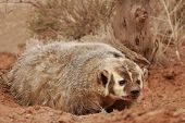 image of badger  - American badger  - JPG