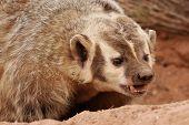 stock photo of badger  - Portrait of American badger  - JPG