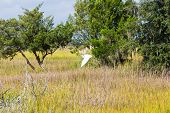 picture of marshes  - White snowy egret flying over wetland marsh - JPG