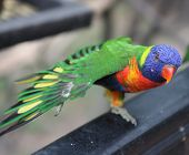 picture of lorikeets  - Rainbow Lorikeets are medium sized parrots.They have a slender build reminiscent of the Asiatic Parakeets