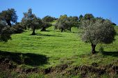 picture of olive trees  - Olive trees on hillside Guaro Malaga Province Andalusia Spain Western Europe - JPG