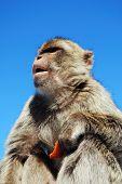 foto of ape  - Barbary Ape  - JPG