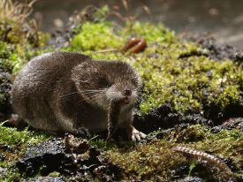 picture of shrew  - Pygmy Shrew devouring prey close - JPG