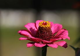 foto of zinnias  - Flower head of a common zinnia  - JPG