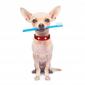 pic of animal teeth  - chihuahua dog holding a toothbrush with mouth isolated on white background - JPG