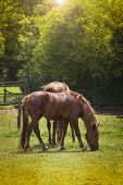 stock photo of horses eating  - Two Brown Horses Eating Grass in Field - JPG