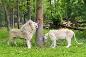 pic of african lion  - Pair of White South African lions  - JPG