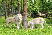 foto of african lion  - Pair of White South African lions  - JPG