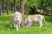 image of african lion  - Pair of White South African lions (Panthera leo krugeri) in a forest enclosure