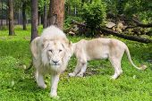 pic of leo  - Pair of White South African lions  - JPG