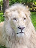 image of african lion  - Portrait of a White South African lion  - JPG