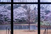 stock photo of rainy day  - Cherry blossom outside the building on rainy day - JPG