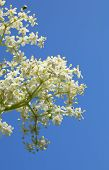 foto of night-blooming  - Close-up of blooming Elderberry (Sambucus nigra) bunch over blue sky background from below view ** Note: Shallow depth of field - JPG
