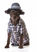 picture of fedora  - mixed breed dog wearing fedora and plaid shirt on white background - JPG
