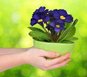 foto of primrose  - Hand holding Primrose in pot on green natural blurred background - JPG