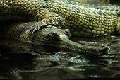 picture of crocodilian  - Gharial  - JPG